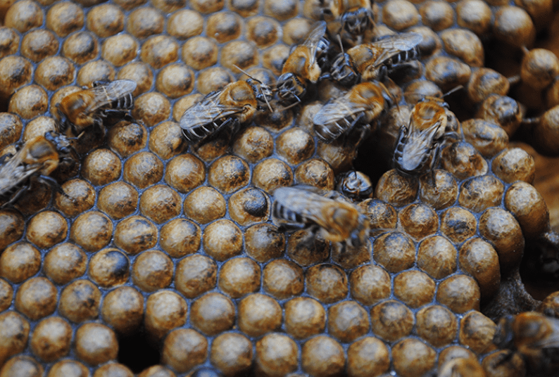 Melipona scutellaris, a stingless bee which produces a substance called geopropolis to seal its hive. Geopropolis contains a compound with antiinflammatory properties. Photo credit: Cícero R. C. Omena.